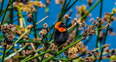 2017.06.20.3616 Red Bishop (Brunswick Forge) Tags: 2017 winter tanzania africa wildlife nature bird birds grouped commented animals safari outdoor outdoors animal tamron150600mm d500 animalportraits favorited