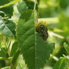 Large Rose Sawfly Larva / Larve de Tenthrède du Rosier (Dr Wood's Wildlife Photos) Tags: largerosesawfly argeochropus rosesawfly tenthrèdedurosier gelerozebladwesp ruususahiainen rosensyhveps rosebladvepser tentredinedellarosa orugadelrosal larva chenille