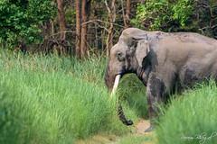 Crossing the Road (PB2_1650) (Param-Roving-Photog) Tags: lone tusker elephant indian tusks jungle animal wildlife wet road grass dudhwanationalpark wildlifephotography nikon tamron indianwildlife