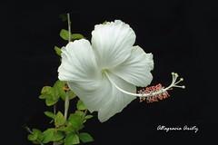 Hibisco/Hibiscus (Altagracia Aristy Sánchez) Tags: hibisco hibiscus cayena laromana repúblicadominicana dominicanrepublic caribe caribbean caraïbe antillas antilles trópico tropic américa fujifilmfinepixhs10 fujifinepixhs10 fujihs10 altagraciaaristy