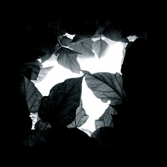 """invert your vision...and back  to see! ("""" anne marie bouyssou"""") Tags: art nature monochrome blackwhite leaf juin hoh shadows catalpa feuilles noirblanc ombres emptyfaces blackwhitephotos figuresduvide"""