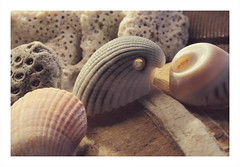 #MacroMondays / #Souvenir / Shells from Australia (Tostaky2) Tags: shell coquillage macro australie australia mer ocean sea plage beach macromondays souvenir