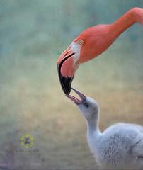 Crop milk (Zara Calista) Tags: flamingo milk feeding chick crop texture soft pastel nikon nikkor
