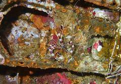 Stenopus hispidus (kmlk2000) Tags: crevette shrimp underwater sealife tropical reef diving macro scuba ocean philippines fish nudibranch itsmorefuninthephilippines sea marine crevettes decapode crustacés visaya apoisland vacation plongée sun