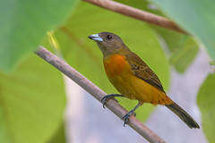 Scarlet-rumped Tanager (Cherrie's Tanager) (f)