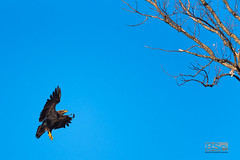 Coming to Rest-7515.jpg (bryanstewartcreative) Tags: bryanstewartcreative eagle baldeagle immaturebaldeagle young immature flight flying simple lighting negativespace bird birdofflight eagles blue bluesky morning earlymorning goldenhour golden shadow nikond750 nikon d750 nature wildlife birds birding naturephotography wildlifephotography birdphotography birdingphotography composition michigan belleisle detroit souteastmichigan puremichigan naturalmichigan michigandnr thegreatlakesstate michiganders puremichiganders michiganawesome awesomemitten themittenstate wildbirds city eaglesinthecity juvenile adolescent
