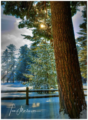 White Pine in Winter (Tom Mortenson) Tags: wisconsin woods countypark marathoncounty hdr photomatix whitepine winter snow 1740l canon canoneos canon6d geotagged america usa wausau wausauwisconsin midwest northamerica pinetree sunrise earlymorning dawn northwoods centralwisconsin