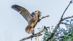 Great Horned Owl (Gary R Rogers) Tags: bird greathornedowl tree owl sky fledgling