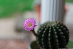 Cactus bloom (dustin.chew) Tags: spring ruralexploration indiana 765 bloom henrycounty ruralbeauty trbrural rural ruralamerica country pretty