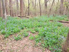 Spring blooms (afagen) Tags: washington dc washingtondc rockcreekpark wildflower
