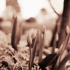Tulipaner i haven (LarsHolte) Tags: mamiya c330 mamiyac330 tlr twinlensreflex twinlens mamiyasekor 65mm f35 6x6 square squareformat 120 film 120film analog analogue foma fomapan fomapan100 fomapan100professional 100iso mediumformat blackandwhite classicblackwhite bw monochrome filmforever filmphotography caffenolc ishootfilm larsholte homeprocessing denmark danmark tulips flowers garden