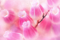 Tiny Pink. A Slider:-) (Small and Beautiful) Tags: sliders sunday macro pink tiny beauty flower bokeh artistic pastel