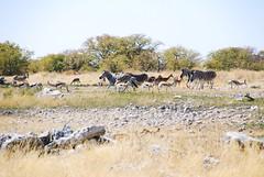 Etosha reserve (stevebarroso) Tags: wild nature savanna springboks zebra africa namibia