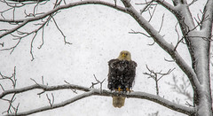 April snowstorm.... (Kevin Povenz Thanks for all the views and comments) Tags: 2019 april kevinpovenz westmichigan michigan ottawacounty ottawa ottawacountyparks grandravinesnorth baldeagle birdsofprey bird snow winter snowstorm nature outside outdoors canon7dmarkii sigma150500 wildlife