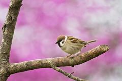 ets on purple (G_Anderson) Tags: missouri backyard birds birding spring
