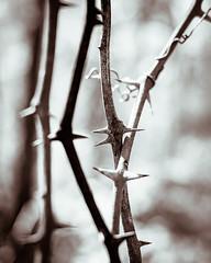 Bringle Creek Thorns. (issafly) Tags: monochromatic nikon explorearkansas d500 arkansasoutdoors blackwhite arkansas flora bw hiking blackandwhite monochrome mono littlerock 2019 nature nikkor35mm naturalstate