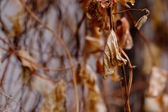 Dead Leaves (jeremy_d_smith) Tags: fuji fujifilm fujinon fujix fujixseries xseries x fujilove taiwan kaohsiung leaves upclose closeup