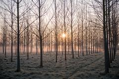 20190403 (Homemade) Tags: trees mist morningmist dawn sunrise nikon2470mmf28 nikkor2470mmf28 wantage grove frost sun valeofthewhitehorse oxfordshire southoxfordshire