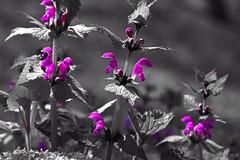 Taubnesselextrakt (günter mengedoth) Tags: hdpentaxda1685mmf3556eddcwr hd pentaxda 1685mm f3556 ed dc wr pentax pk k3 blüte pflanze nahaufnahme natur frühling spring bokeh