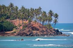 IMG_7454.jpg (Dhammika Heenpella / CWSSIP Images of Sri Lanka) Tags: dhammikaheenpella මිරිස්ස clusterofcoconuttreesbythesea ශ්රීලංකාවේචායාරූප ධම්මිකහීන්පැල්ල ශ්රීලංකාවේෆොටෝ coconuttreehill imagesofsrilanka srilanka mirissa කොකනට්ට්රීහිල් ශ්රීලංකාව මුහුද mirissabay traveldestination placesofinterest මිරිස්සමුහුදුවෙරළ mirissabeach