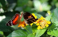 Vacances_0888 (Joanbrebo) Tags: mainau konstanz badenwürttemberg de deutschland canoneos80d eosd autofocus mariposa farfalle butterfly papallona papillon