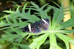Vacances_0885 (Joanbrebo) Tags: mainau konstanz badenwürttemberg de deutschland canoneos80d eosd autofocus mariposa farfalle butterfly papallona papillon