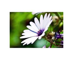 Margarita. (EFD-fotolab) Tags: efdfotolab macro macrofotografia nikkor105mm nikond610 nikon españa primavera2019 margarita flores floressilvestres flowers