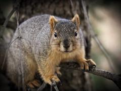 Squirrel, Morton Arboretum. 451 (EOS) (Mega-Magpie) Tags: canon eos 60d nature wildlife squirrel outdoors tree branch the morton arboretum lisle il dupage illinois usa america
