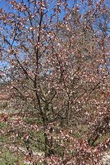 Cherry tree in bloom @ Lac de la Balme de Sillingy @ Hike to Montagne de la Mandallaz & Lac de la Balme de Sillingy (*_*) Tags: 2019 printemps spring march afternoon sunny europe france hautesavoie 74 annecy labalmedesillingy savoie hiking mountain montagne nature randonnée walk marche lac lake flower tree cherry cerisier jura mandallaz