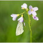 Green-veined white - Klein geaderd witje (Piers napi) ... thumbnail