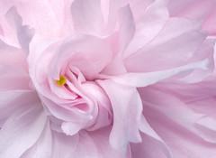Macro Mondays Pastel (andypf01) Tags: macromondays pastel flora flower blossom palepink macro closeup nature