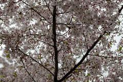 cherry tree (sakura) (Hideki Iba) Tags: sakura tree blossom nikon d850 58mm hyogo japan flower bokeh