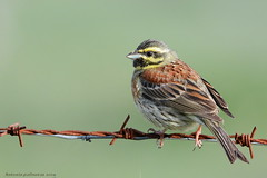 Escribano soteño (Emberiza cirlus) (antonio palmeras palmeras) Tags: ave aves bird naturaleza nature fauna animal
