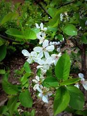 Flowering (Anna Gelashvili) Tags: tbilisi georgia цветок дерево тбилиси tree blossom ხე თბილისი საქართველო flowering макрос flower macro цветочки garden flowers цветы