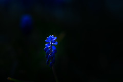 Muscari in the light (Theo Crazzolara) Tags: muscari grape hyacinth grapehyacinth spring flower blossom blue garden sunset scenic nature natural business health light vivid colourful easter blooming traubenhyazinthe hyazinthe traube blau