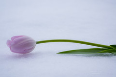 Spring flower (mariola aga) Tags: spring snow snowstorm flower tulip closeup white pink green nature