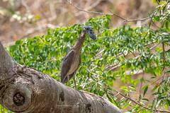 Boat-billed Heron (Mario Arana G) Tags: 7d ave bird birding boatbilledheron cr canon costarica estacionhorizontes florayfauna guanacaste marioarana nature naturephotography photography wildlife wildlifecostarica