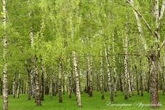 Spring Birch Grove. (katearutyunova) Tags: spring nature birch grove russia plant green