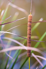 Cattail in the Wind (ChristianKphoto) Tags: tail horsetail horsetails plant plants pond water serenity serene sun sunny florida wind windy cat cattail cattails canon canon6d tamron tamron70200mm