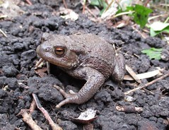 Common Toad (called Ani) (StevePaisley) Tags: amphibian common toad bufo