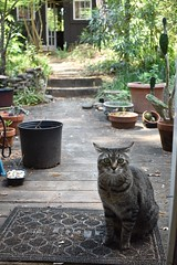 """What do you mean, I have to come inside to eat?"" (rootcrop54) Tags: camille female mackerel tabby striped cat welcomemat open door neko macska kedi 猫 kočka kissa γάτα köttur kucing gatto 고양이 kaķis katė katt katze katzen kot кошка mačka gatos maček kitteh chat ネコ"