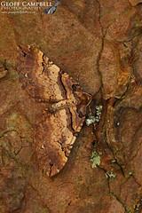 Shoulder-stripe (Earophila badiata) (gcampbellphoto) Tags: shoulderstripe earophila badiata moth insect invert macro nature wildlife north antrim northern ireland ballycastle gcampbellphoto texture organic pattern