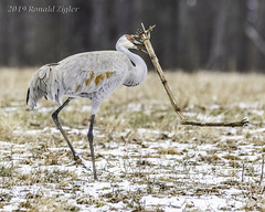 Sandhill Crane mating dance/ritual IMG_3495 (ronzigler) Tags: birdwatcher wildlife nature avian bird crane sandhill animal
