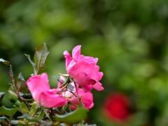P1010036 -1R (hyphy2008) Tags: zeiss sonnar 135mm f4 contax rf bokeh flowers garden