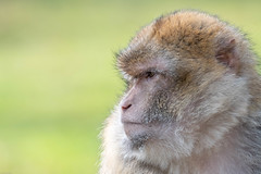 Deep In Thought (Malc H) Tags: things unitedkingdom monkeyworld monkeys wildlife staffordshire places trentham