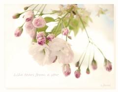 Like tears from a star🌟❤ (c.ferrol) Tags: blossom flor pétalos floración cherry sakura soft suave pastel blanco star tears primavera