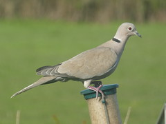 Collared Dove (ART NAHPRO) Tags: dove sussex spring 2019 collared