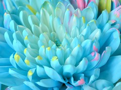 Mums (linda_lou2) Tags: macromondays flower mum blue pastels 365the2019edition 3652019 day105365 15apr19 105365 106mm macro