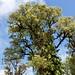Endangered 'OHI'A In Blue Sky, near Akaka Falls Park, Big Island, Hawaii DSC_0927