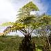 Hāpuʻu (Cibotium menziesii) Akaka Falls Park DSC_0925